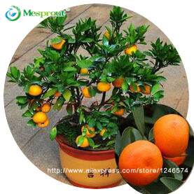 30pcs Edible Fruit Mandarin Bonsai Tree Seeds, Citrus seed Bonsai Mandarin Orange Seeds