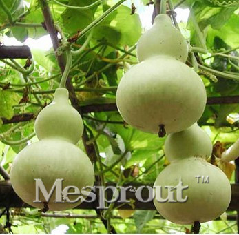 Natural Bottle Gourd Seed 5PCS Seeds Of Each Pack Bi X
