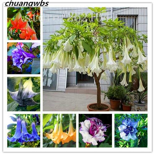 Datura Flower Tropical Plants Aromatic White Angels Trumpet Flower