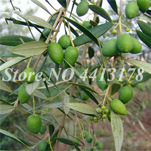 uy_Real_Chinese_Olea_Europaea_Fruit_Tree_Seeds_Online_Plant_Olives_Tree_For_Olivaris_Gan_Lan__4_