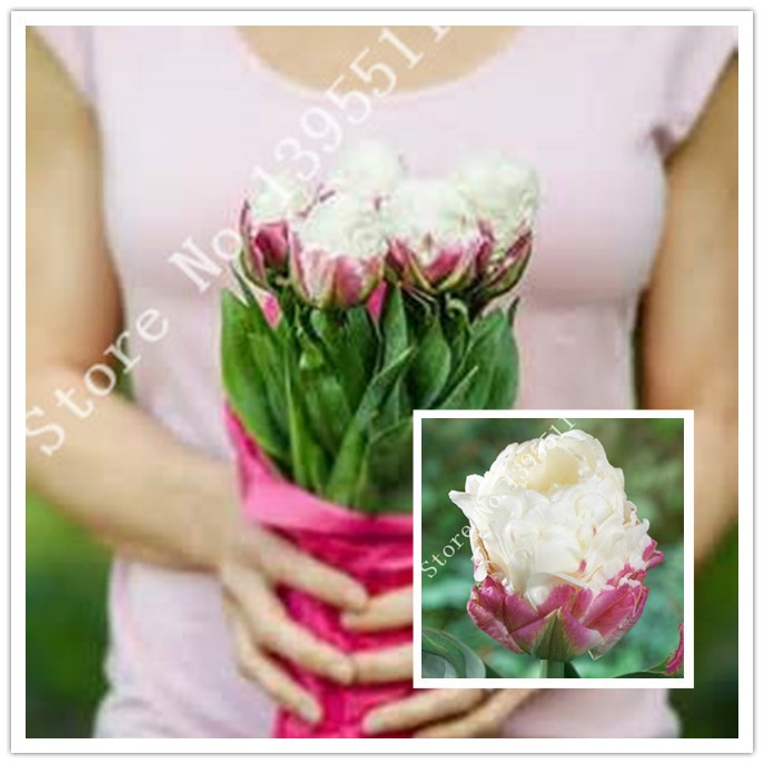 Tulip, Ice Cream.The most interesting tulip we have ever seen.Flower seeds For Home Garden.Bonsai Plants for Decoration-50seeds