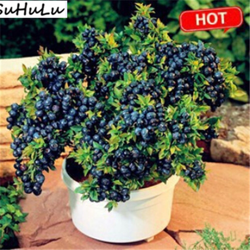 100% Genuine 1000pcs/pack Organic Delicious Blueberry Berry Fruit Bonsai Plant For Home Courtyard Balcony Garden Free Ship71
