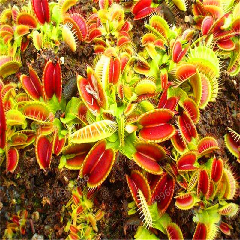 100 PCS hot - ขาย Potted Insectivorous Dionaea Muscipula Giant คลิป Flytrap bonsais Carnivorous Plant จัดส่งฟรี