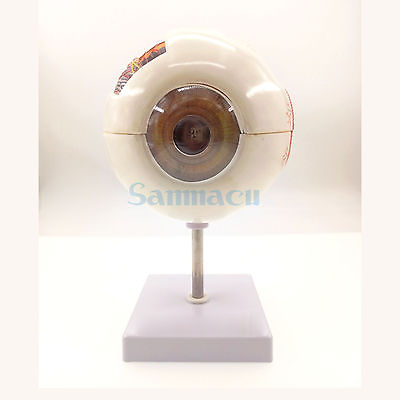 Human Anatomy Eye Ball Educational Model Training 6X Life Size Enlargement Medical Learning Kit 3 1 human anatomical kidney structure dissection organ medical teach model school hospital hi q