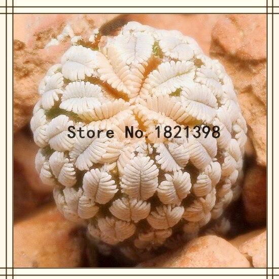 Fairy Succulents Seeds 50PCS/bag Prevent Radiation fles