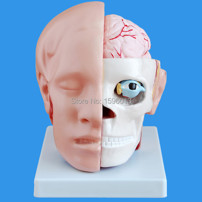 HOT Human Head with Brain and Artery Model 10 parts, Head attached cerebral artery Model