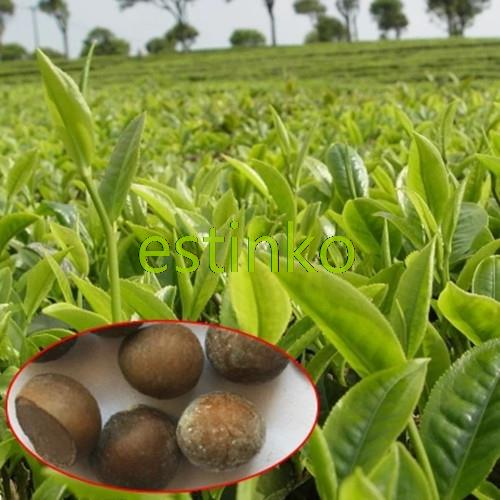 Green tea seed