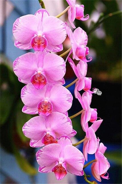 300 pz Rare Arrampicata Cymbidium Orchidea Bonsai Misto Farfalla Orchidea Phalaenopsis Fiore Ornamentali Piante Da Giardino Balcone Vaso di fiori