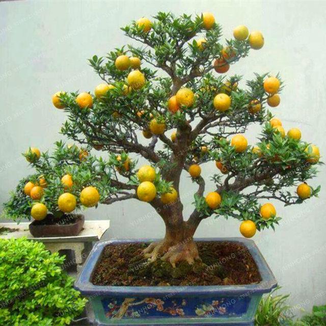 Bonsai Haus shop citrus samen bonsai mandarin orange samen essbare frucht