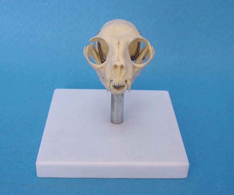 Cabeza de gato Hueso Del Cráneo Esqueleto Modelo Cráneo Del Gato ...