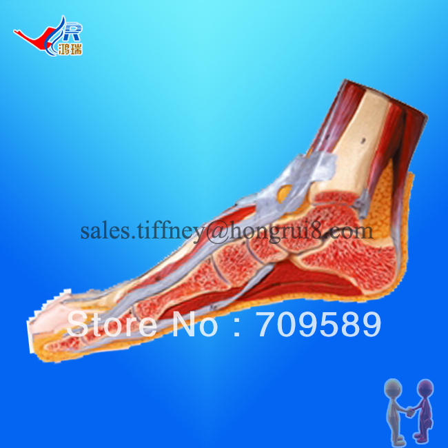 ISO Foot Anatomy  model, Anatomical Foot Model, Median Sagittal Section of Foot anatomy of a disappearance