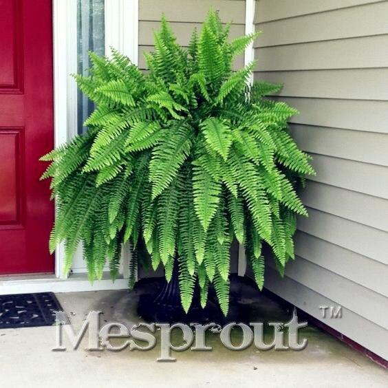 Online kaufen gro handel japanischen zimmerpflanzen aus - Japanische zimmerpflanzen ...