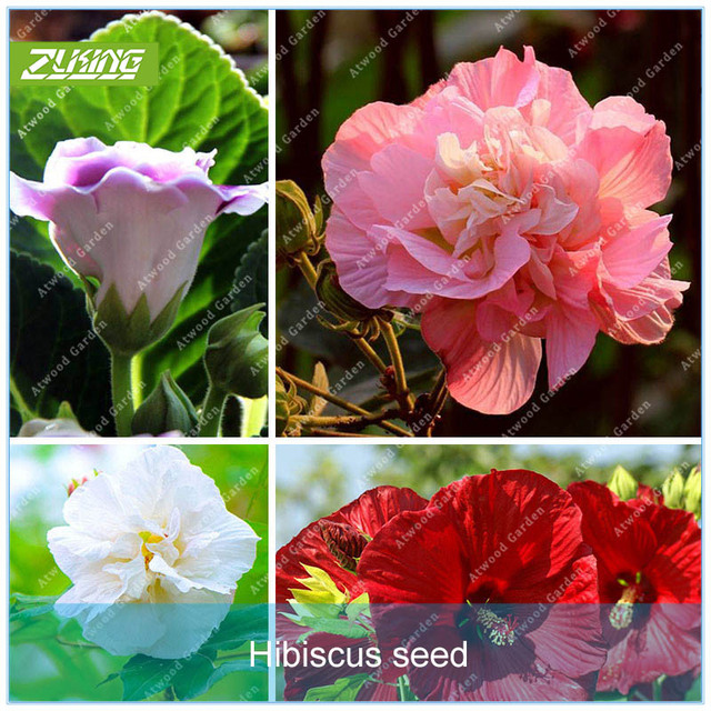 Zlking 100pcs Hibiscus Flower Bonsai Plants For Home Garden Exotic