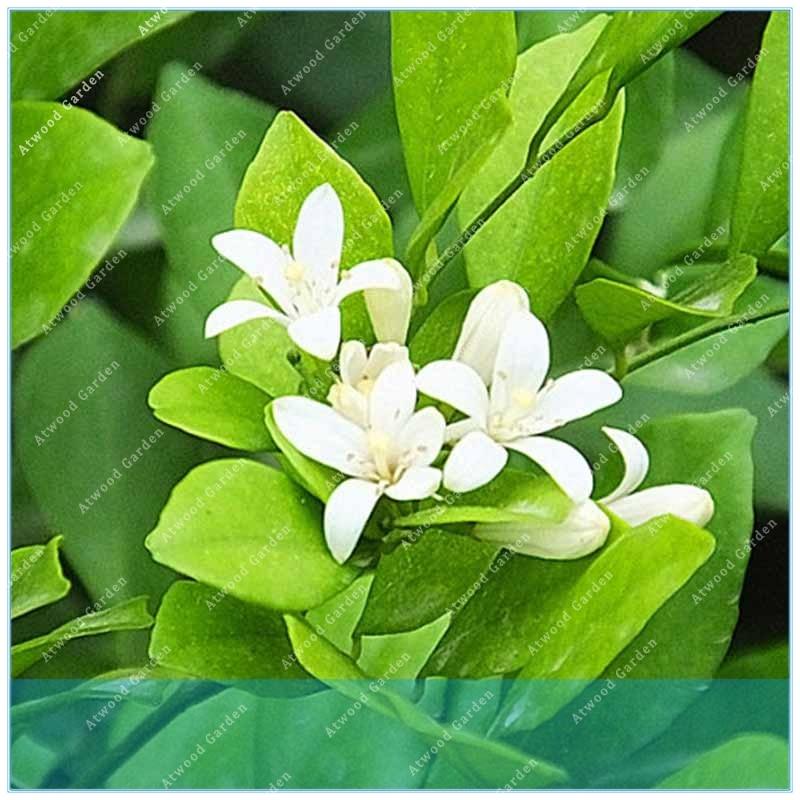 Home & Garden Zlking 50pcs Double Murraya Paniculata Orange Jessamine Evergreen Plant 50 Satinwood Lakeview Fragrant Flowers