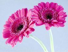 Quickly germinate bonsai flowers seeds 20 Gerbera Daisy Gerbera Jamesonii Hybrids Mix Garden Seeds