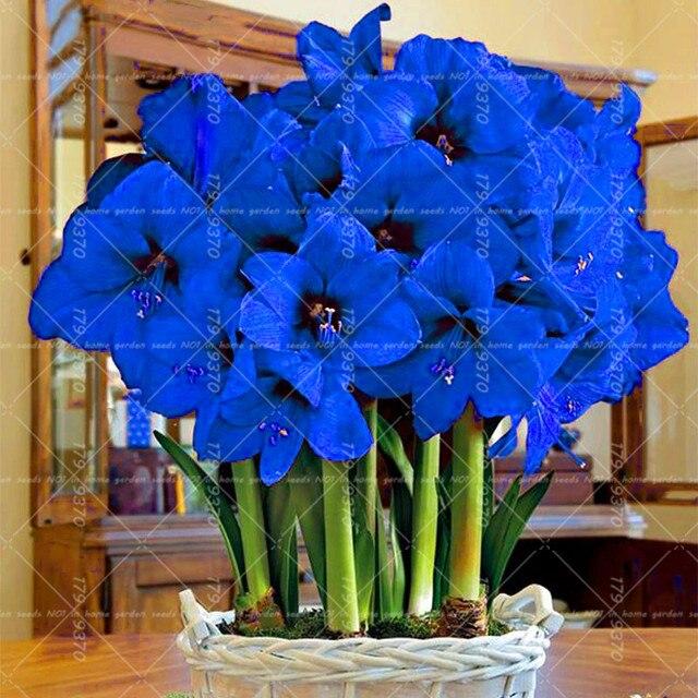 100pcs Blue Hippeastrum Flower Bonsai Plants (not bulbs) Perennial Indoor Flowering Potted Big Flower Home Garden