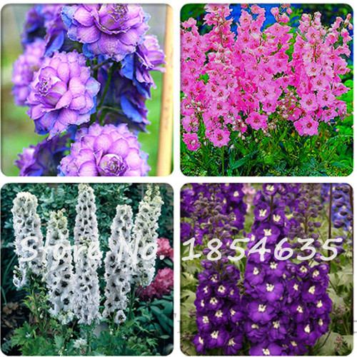 Different types of delphinium perennial flowers pretty flower different types of delphinium perennial flowers pretty flower seeds100 seeds big blooms beautiful home garden flower plant in bonsai from home garden on mightylinksfo