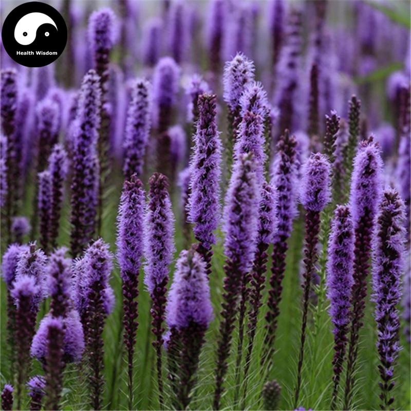 Купить Лиатрис Spicata цветок Semente 200 шт. завод цветок Лиатрис Spicata сад