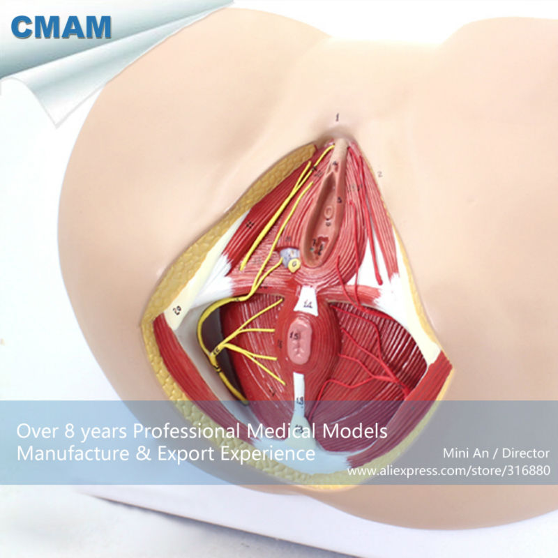 12462 CMAM ANATOMY24 Life Size Anatomy and Biology Education Female ...
