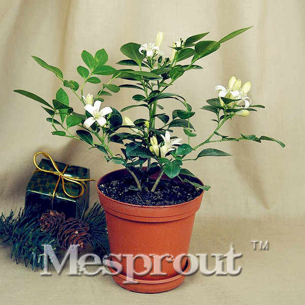 จีนกล่อง Murraya Exotica Bonsai 100 pcs, Lakeview จัสมิน Murraya Paniculata Bonsai, Diy ง่าย Growth สำหรับ Home Garden