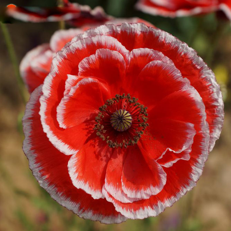 Hot Sale Potted balcony Red White Poppy Flower Seed Beautiful Bonsai Plant Home Garden 200 Particles / lot