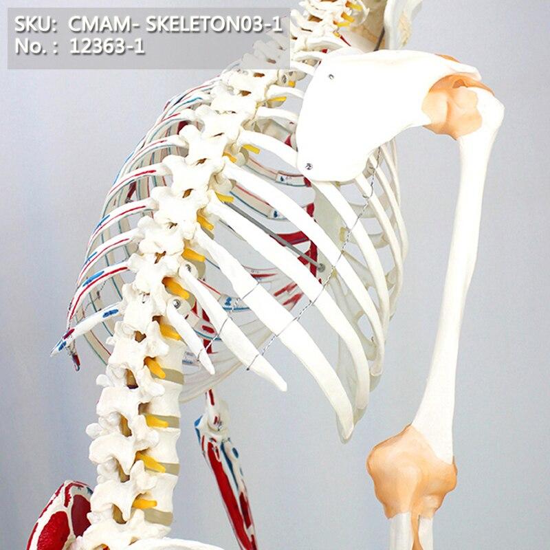 T CMAM/12363-1 170 squelette, point musculaire, numéroté, flexible, médical squelette complet modèle humain anatomique