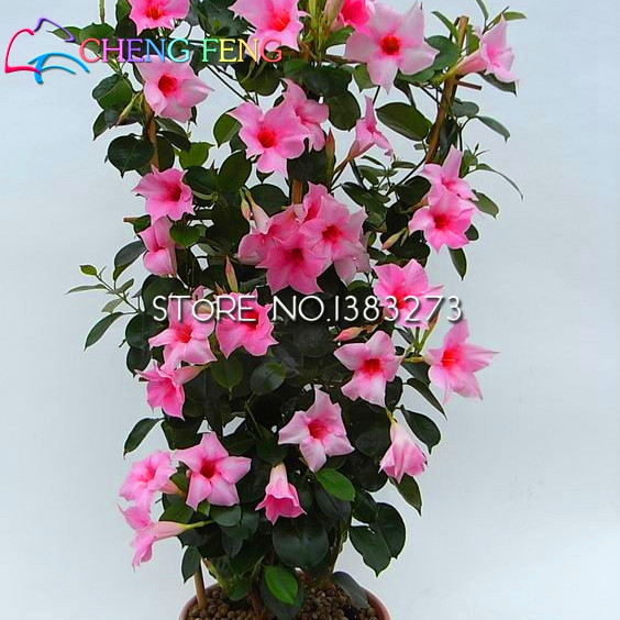 Sale 100 Rainbow Mandevilla Seeds and Beautiful Flower Seeds The Budding Rate 95% Garden bonsai diy Plant For Kids + rose Gift