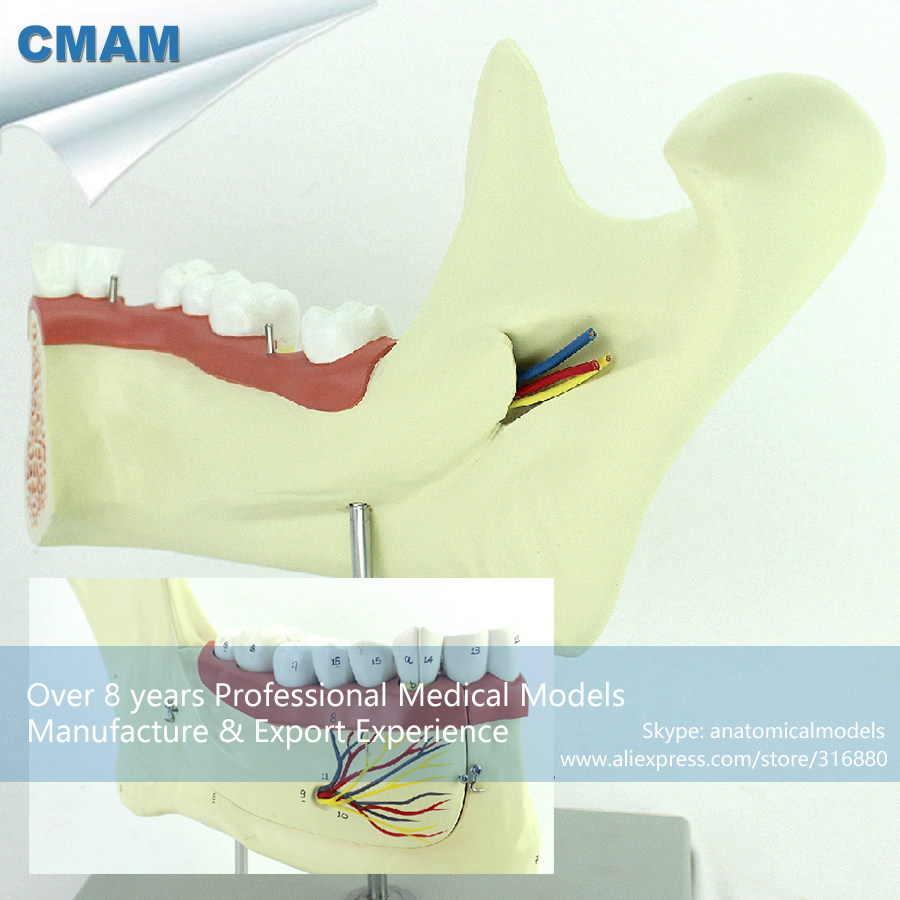 12625 CMAM-DENTAL34 Anatomic Model of Inferior Jaw Bone and Tooth Body,  Medical Science Educational Teaching Anatomical Models cmam dental07 human dental demonstration model of periodontal caries medical science educational teaching anatomical models