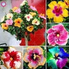 100pcs / 팩 히비스커스 씨앗 분재 나무 무지개 꽃 씨앗 14 색상 가정 정원에 대한 다년생 온대 식물 장식