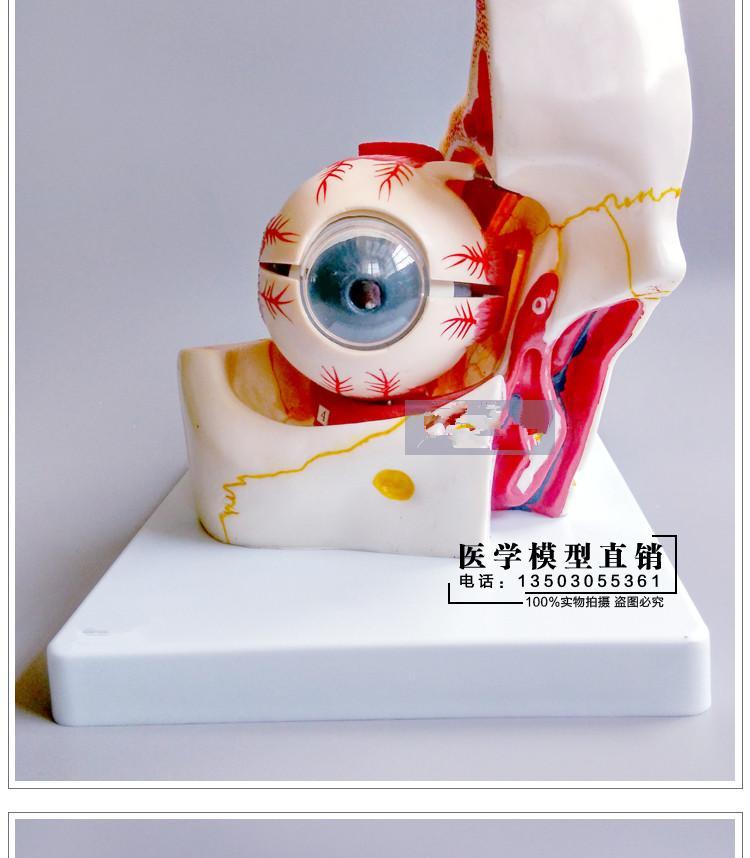 An enlarged anatomic model of the eye eye socket model  20*19*18cm  free shoppingAn enlarged anatomic model of the eye eye socket model  20*19*18cm  free shopping