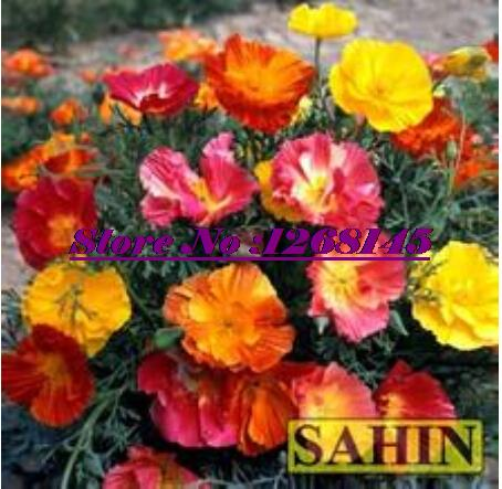Hot! 50pcs/original pack Californian Poppy,Eschscholzia