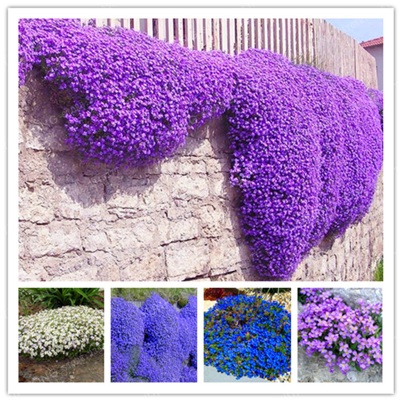100 Aubrieta Cultorum bonsai For Drought Tolerant Rock Garden Of Villa Park In A Variety Of Places Perennial Ground Cover Plant