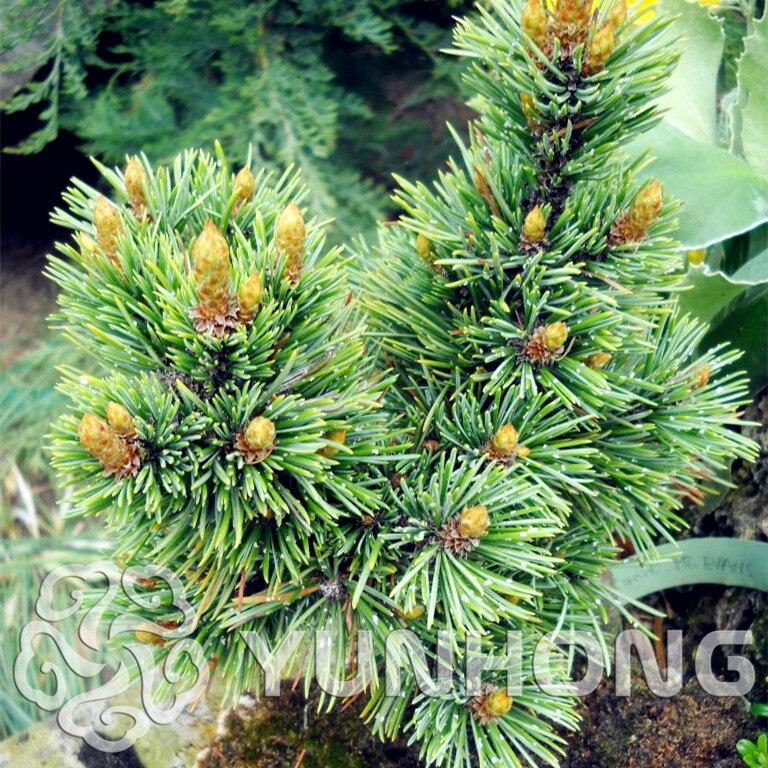 50 шт./пакет многолетний можжевельник Pinus Densiflora бонсай горшках очистить поглощение воздуха излучения сосны карликовые деревья DIY домашний са...