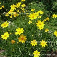high flower plant fragrant flowerplant Coreopplantiplant money to plantmall coplantmoplant daiplanty plant 200g / Pack