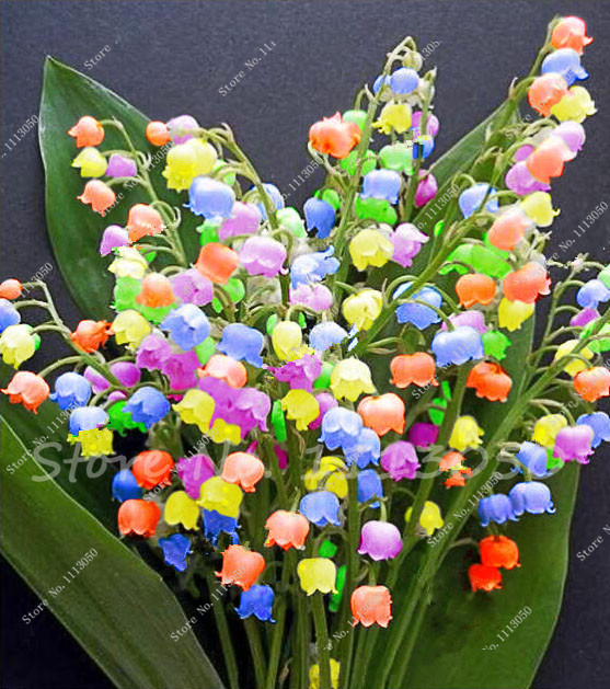 50 Pcs Sementes de Flores de Lírio do Vale, sino Orquídea Sementes, Aroma Rico, Vasos de Plantas Bonsai Varanda Flor para o Plantio de Casa DIY