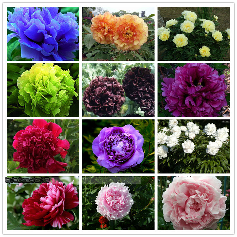 15pcs peony seeds Paeonia suffruticosa 12 colors indoor font b bonsai b font flower seeds for