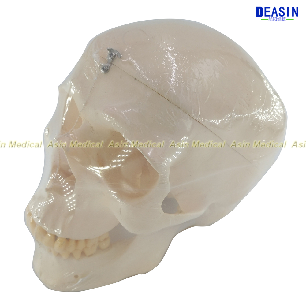Deasin new Dental 1:1 head Model with teeth Medical Model dentist learning model soarday children primary teeth alternating transparent model dental root clearly displayed dentist patient communication