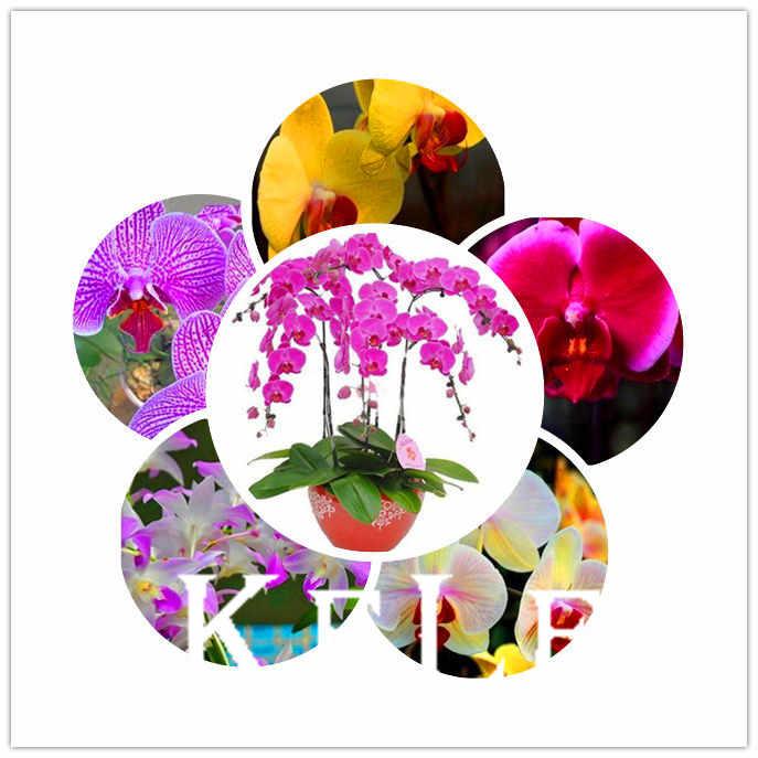 Trasporto libero Phalaenopsis Bonsai Piante Da fiore cattleya fiore phalaenopsis orchidea farfalla Giardino-100 pz, # NIJMKV