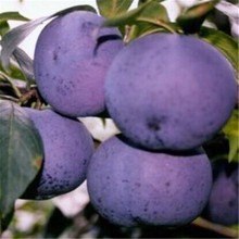 Delicious Round Plums Fruit Tree Seeds Good Quality – 5 pcs / lot