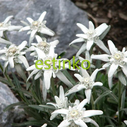 Beautiful Edelweiss Seed 20pcs/bag Leontopodium Alpinum Flower Bonsai Seeds Bonsai Plants Flower Seeds Perennial Free Shipping