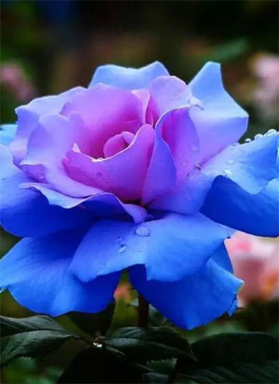 aliexpress  buy high quality flower seeds. pc blue pink, Beautiful flower