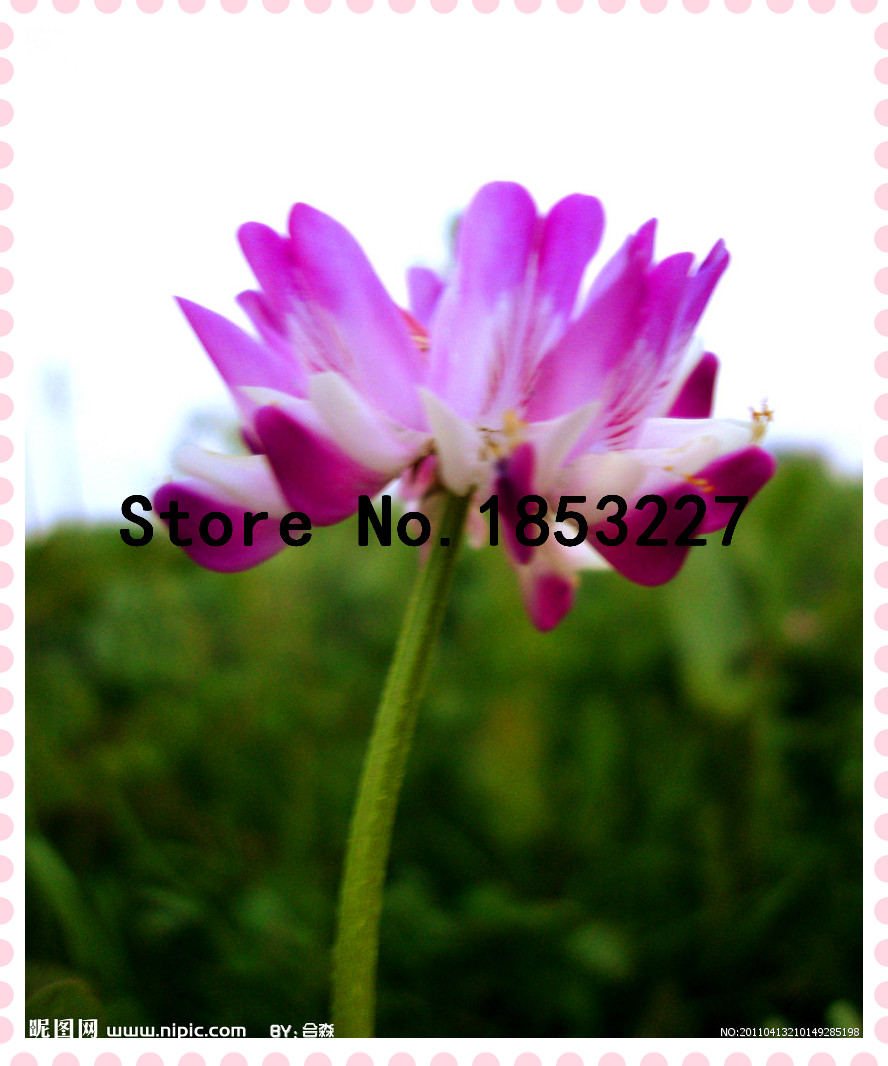 Easy sow plant flowers seeds, Astragalus sinicus seeds For DIY Home & Garden 100pcs