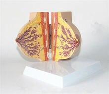 Human anatomy Female Breast Section Model in Resting Period genital skeleton anatomical Syringe syringe model Corset for posture