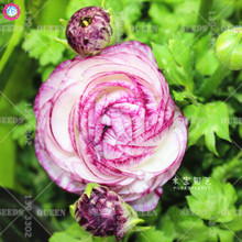 2pcs Ranunculus asiaticus Bulbs Indoor Bonsai Flower Bulbs Home Garden DIY Plants Persian Buttercup Peony celery Best packaging