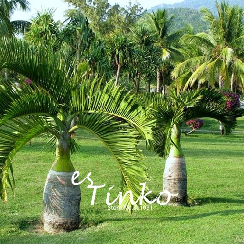 unids ornamento del jardn de rboles de palma fortunei bonsai paisaje tropical de hoja
