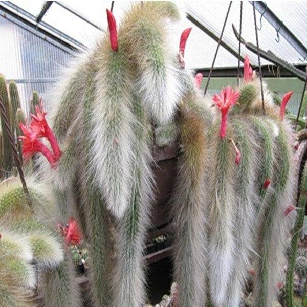 Cactus (Hildewintera colademononis) plants succulents M