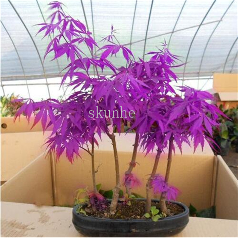 20pcs bonsai blue maple tree bonsai  tree plants. rare sky blue japanese maple bonsai Balcony plants for home garden 1