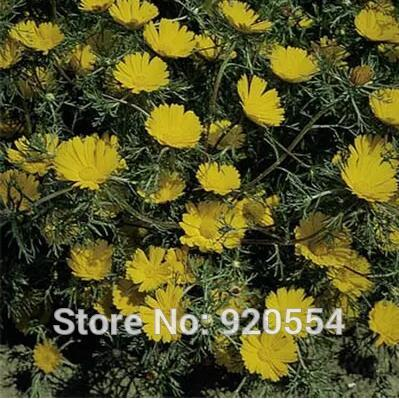 Imported seed,20pcs/pack Palm Springs Daisy(Cladanthus