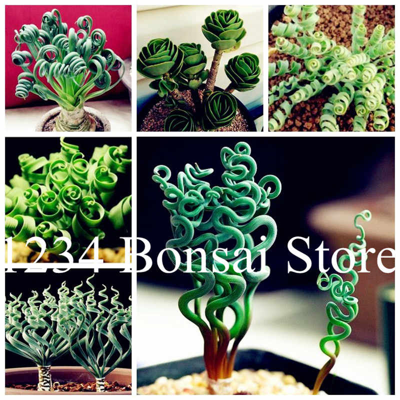 200 pcs Spring grass Rare succulents plant Funny bonsai planting potted plants for home garden supplies flower easy to grow
