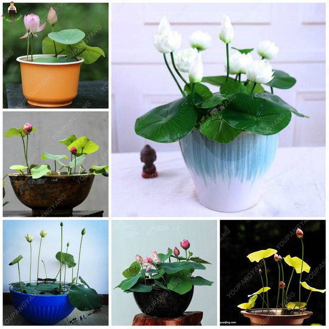 10pcs lotus bonsai flower for summer real Bowl lotus planting pots water lily garden plants easy to grow